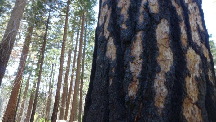 sequoia tree scars