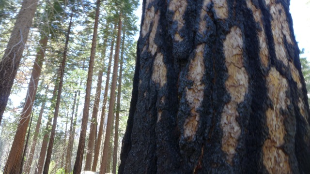 sequoia tree scars